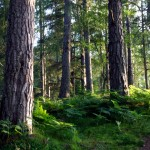 Caledonian Forest, Rothiemurchus, Highlands
